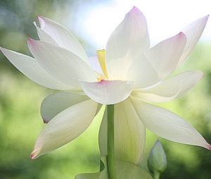 lotusflower